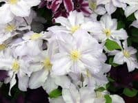 Clematis ICE BLUE Evipo003